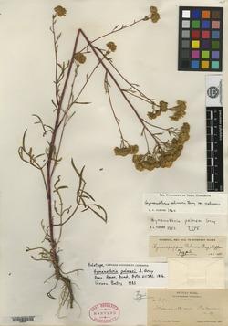 Hymenothrix palmeri image
