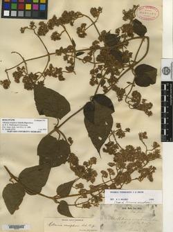 Image of Mikania eriophora