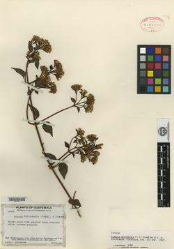 Image of Mikania huitzensis