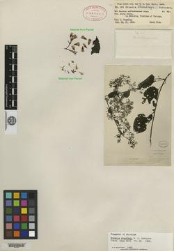 Mikania standleyi image