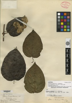 Mikania tonduzii image