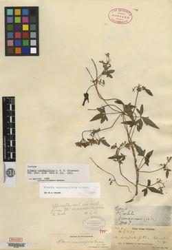 Mikania ranunculifolia image