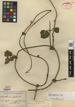 Mikania fragilis image