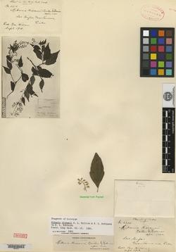 Image of Mikania hioramii
