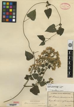 Mikania odoratissima image