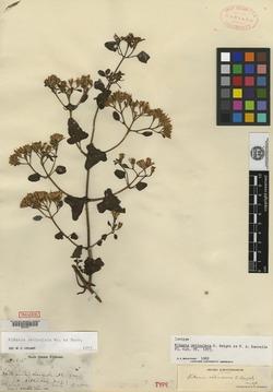 Image of Mikania reticulata