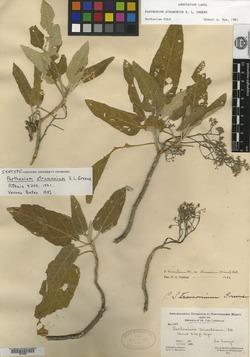 Parthenium tomentosum var. stramonium image