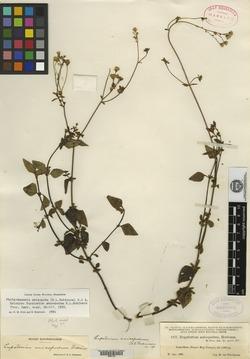 Image of Fleischmannia anisopoda