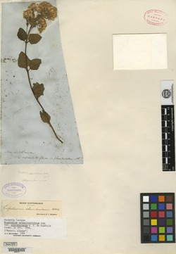 Ageratina rhomboidea image