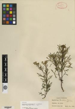 Image of Fleischmannia carletonii