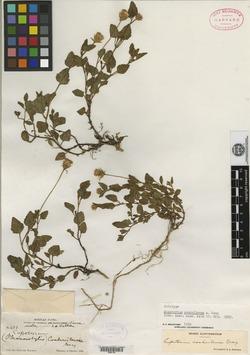 Image of Brickellia coahuilensis