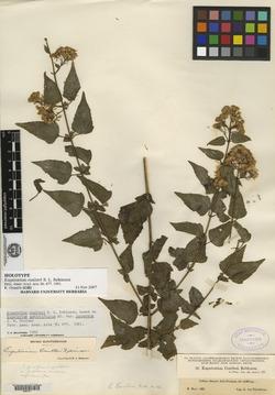 Image of Eupatorium coulteri