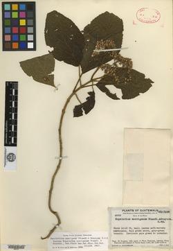 Image of Bartlettina montigena
