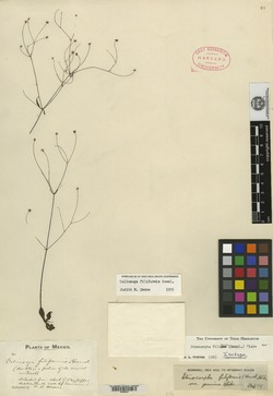 Image of Galinsoga filiformis