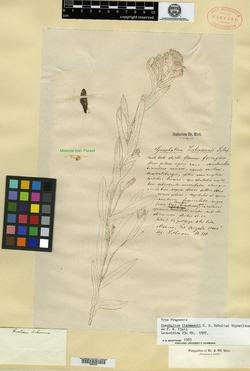 Image of Gnaphalium liebmannii