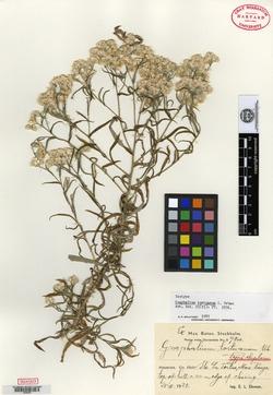 Image of Pseudognaphalium tortuanum