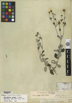 Image of Calanticaria greggii