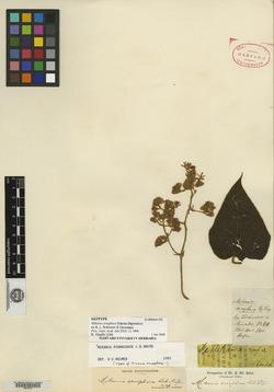 Mikania eriophora image