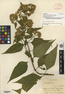 Image of Mikania aschersonii