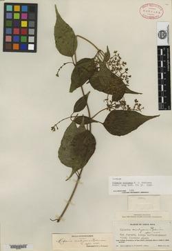 Mikania pittieri image