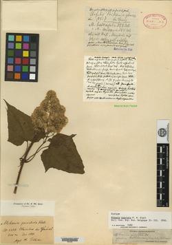 Mikania pteropoda image