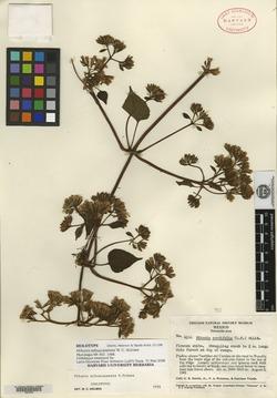 Image of Mikania tehuacanensis