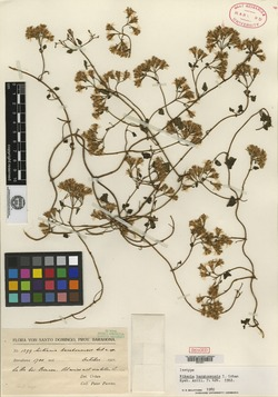 Mikania barahonensis image