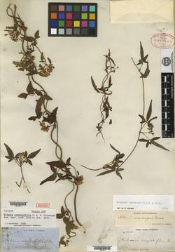 Image of Mikania ranunculifolia