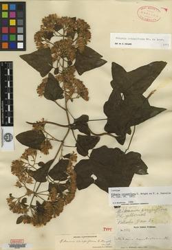 Image of Mikania crispiflora