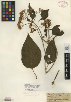 Image of Mikania latifolia