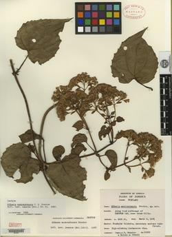 Image of Mikania montverdensis