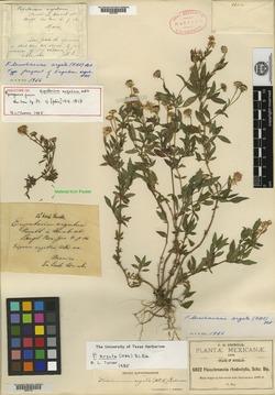 Image of Eupatorium argutum