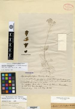 Image of Aposeris foetida
