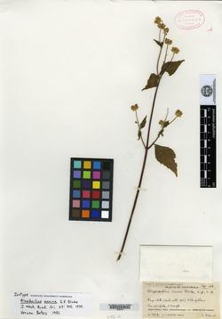 Image of Alepidocline annua