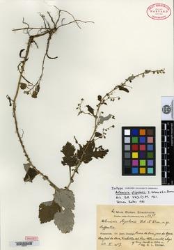 Image of Artemisia stipularis