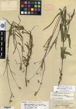 Image of Aspilia stenophylla