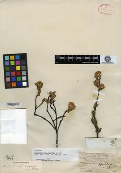Image of Ageratina mygindaefolia