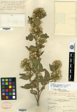 Image of Brickellia orizabaensis