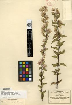 Image of Brickellia conduplicata