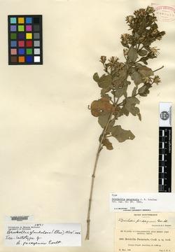 Image of Brickellia pacayensis