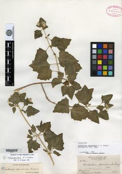 Brickellia rhomboidea image