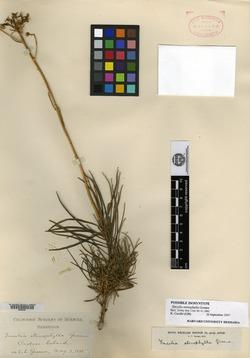 Image of Encelia stenophylla