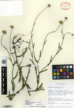 Image of Erigeron coroniglandifer