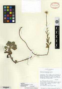 Image of Erigeron podophyllus