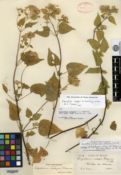 Image of Ageratina isolepis
