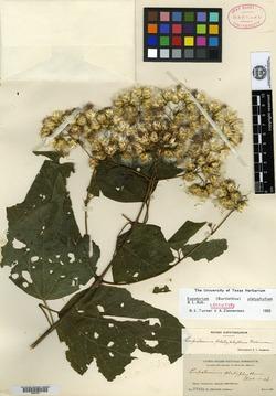 Image of Bartlettina platyphylla