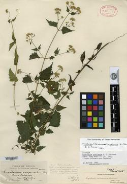 Image of Fleischmannia sinaloensis