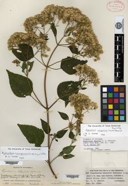 Image of Ageratina skutchii