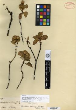Image of Ageratina vernicosa