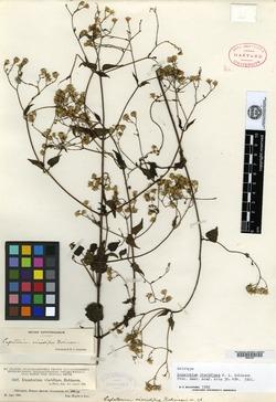 Image of Fleischmannia viscidipes